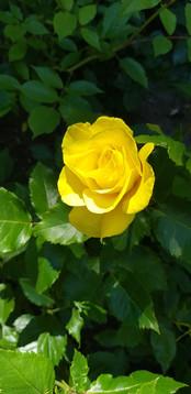 Keltainen ruusu.jpg