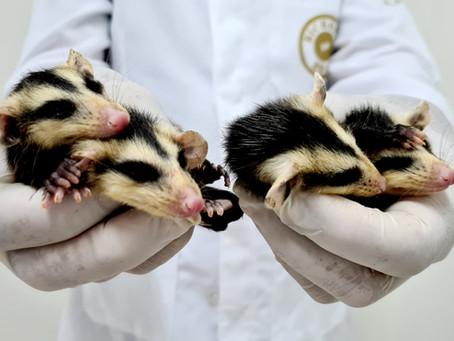 Gramadozoo trata quatro filhotes de gambá órfãos