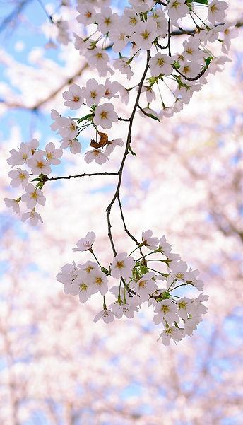 cherry-blossom-4980038_1920.jpg