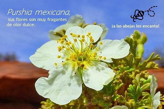 Purshia mexicana.jpg