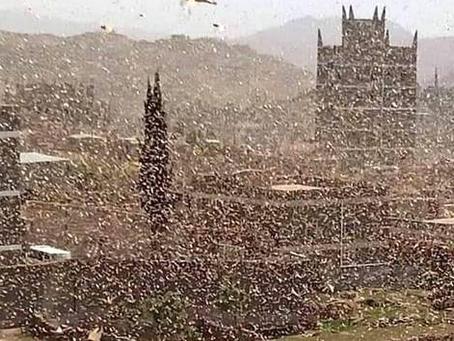 FAO advierte de plaga de langostas en el desierto en Yemen