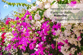Bugambilia2.jpg