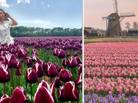 Holanda dice NO al turismo en los campos de tulipanes