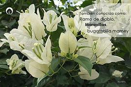 Bugambilia1.jpg