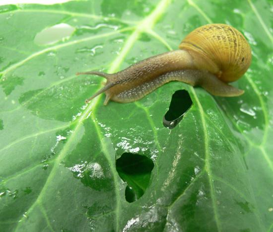 Image result for caracol en acelga