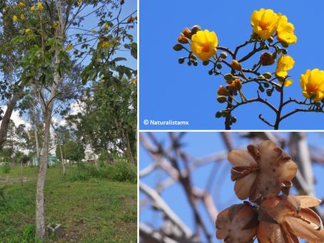 Árboles de rápido crecimiento
