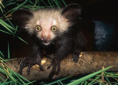 Ayeaye de Madagascar