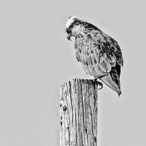 web-osprey.jpg