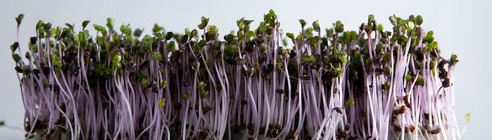 Red Russian Kale Microgreen