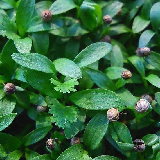 Cilantro Microgreen