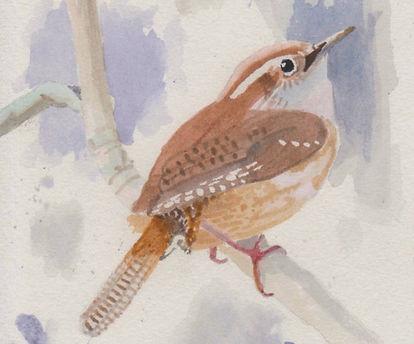 Carolina Wren, bird