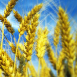 wheat origin, food law, mandatory labelling, studio legale corte