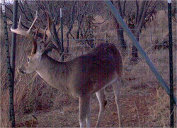 Picture1+feeder+whitetail.jpg