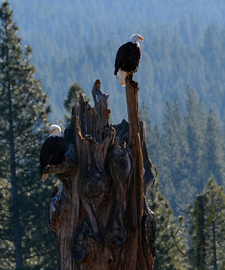 Cedars Bald Eagle