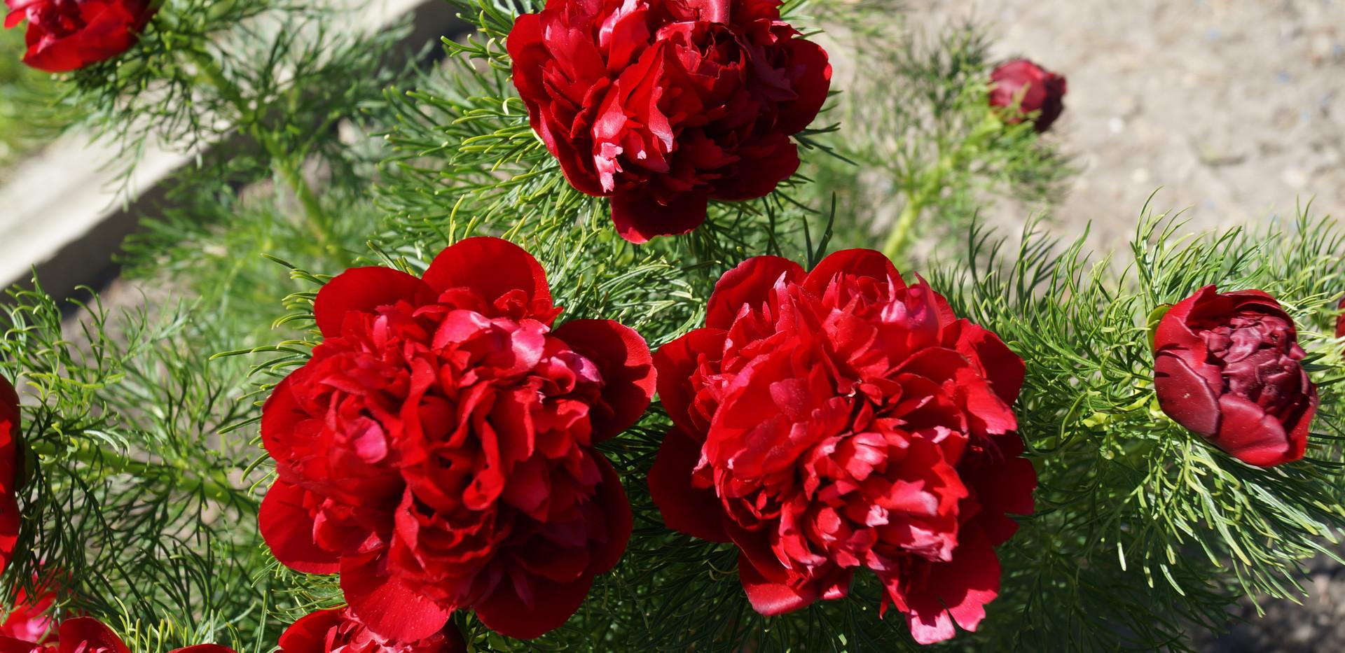 Red Fernleaf