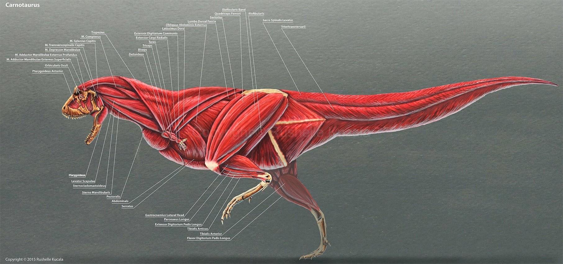 rushelle-kucala-carnotaurusmuscleslabels