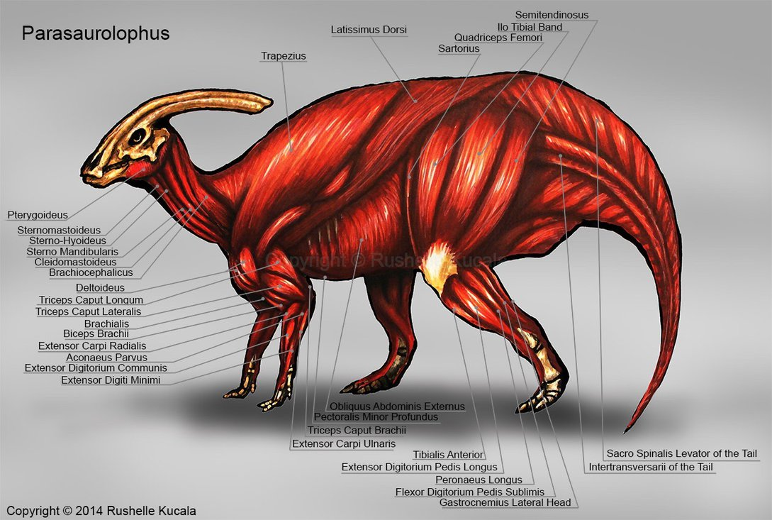 parasaurolophus_muscle_study_by_thedrago