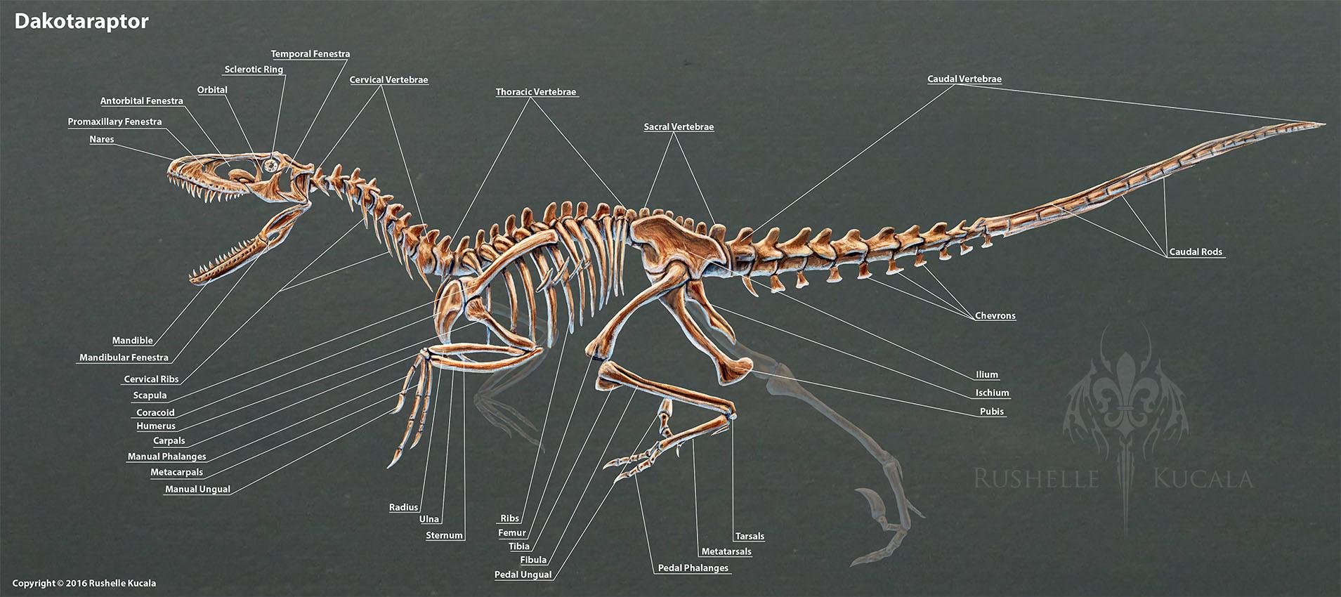 rushelle-kucala-dakotaraptorskeletonlabe