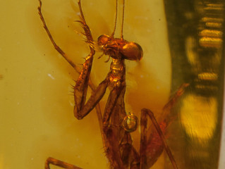 30 Million-Year-Old Praying Mantis Is Preserved in Pristine Piece of Amber