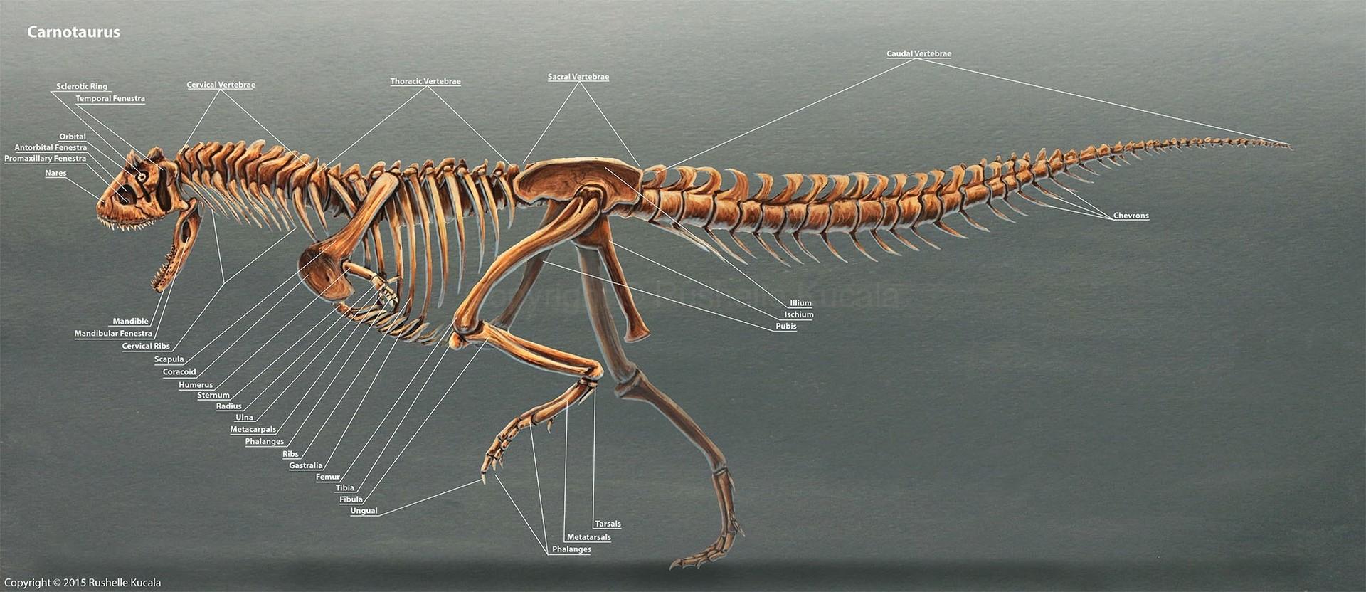 rushelle-kucala-carnotaurusskeleton-copy