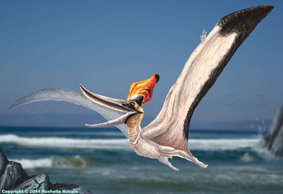 male_pteranodon_sternbergi_reconstructio