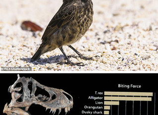The little bird that easily beats T-rex in battle of the bite!