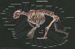 rushelle-kucala-arctodussimusskeletonlab