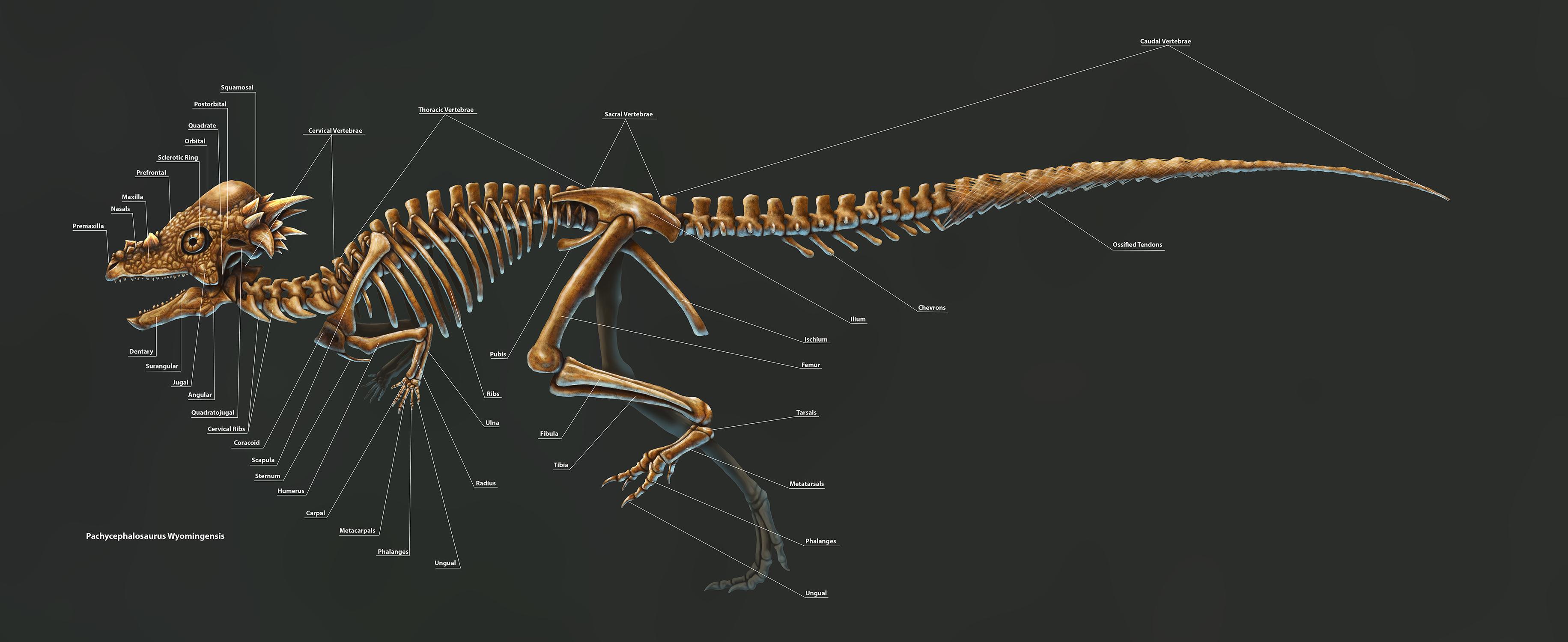 pachycephalosauruswyomingensislabels