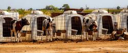 calf crates-8.jpg
