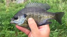 Are bluegill and sunfish one in the same?