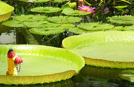 Hydrant Lillies