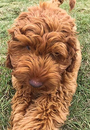 Gurley-pup.jpg