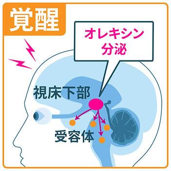 ホルモン「オレキシン」分泌により覚醒-視床下部