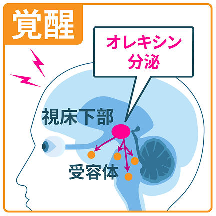 sleep_orexin1.jpg
