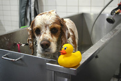 A brown and white dog in a stainless steel tub with yellow rubber ducky.