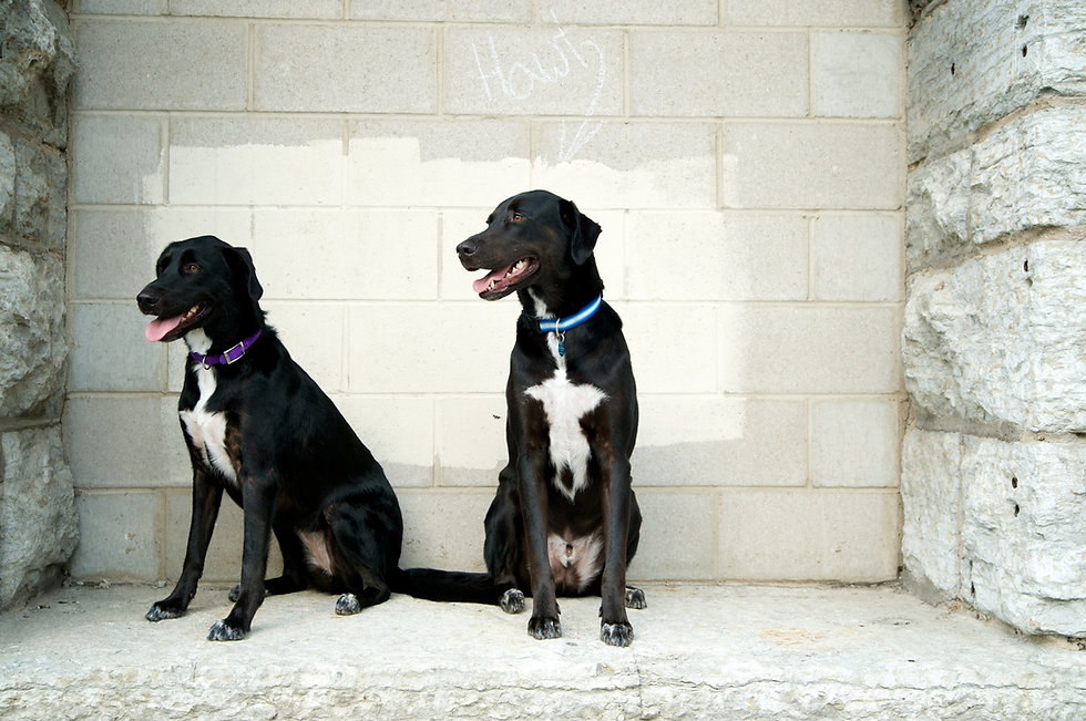 Two labrador retriever dogs sitting in front of white stone wall