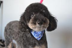 Black dog haircut