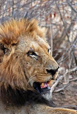 lion-lying-on-ground-733658