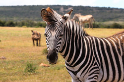 zebra-on-green-grass-field-763928