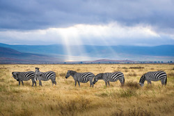 five-zebra-grazing-on-grass-field-286207