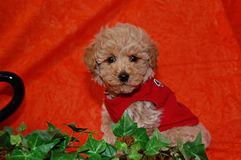Poodle Red-Apricot.jpg