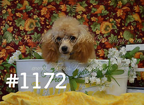 Apricot Poodle 1172 pic 2_edited.jpg