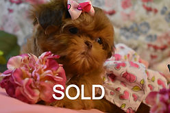 Red Micro Tiny Teacup ShihTzu.jpg