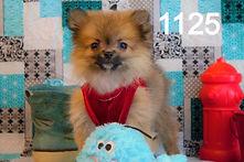 Pomeranian%20Puppy%201125%20(26)_edited.