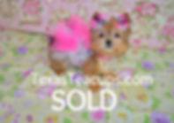 Golden Baby Face Morkie Puppy