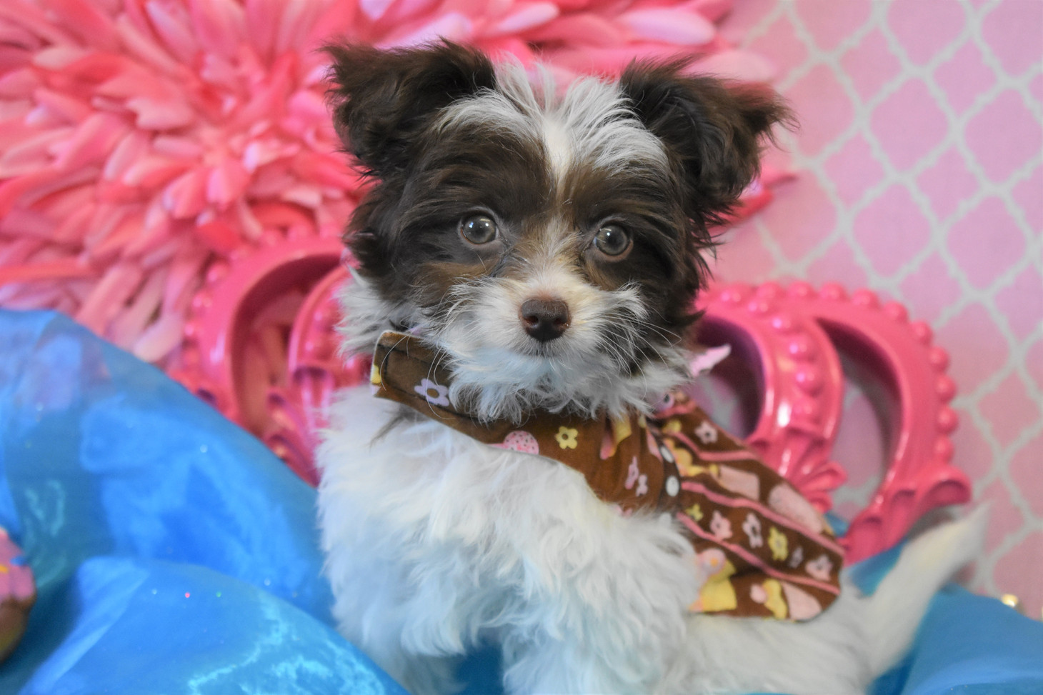 Teacup YorkiePoo For sale Female 656 (1)