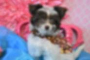 Teacup YorkiePoo For sale Female 656 (1)