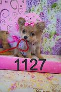 Pomeranian Puppy for sale 1127.jpg