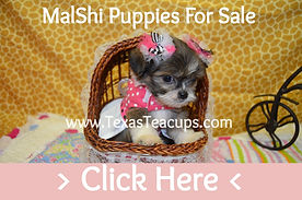 Teacup%20Malshi%20Puppies%20For%20Sale%2