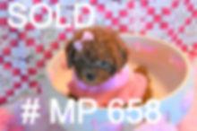 658 Red Maltipoo  (10)_edited_edited.jpg